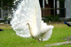 mocassin lake albino peacock 2