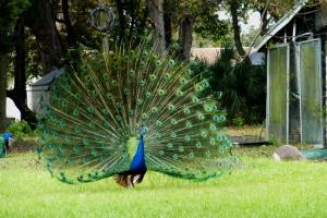 mocassin lake blue peacock